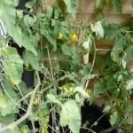 Meine kleinen Tomatenpflänzchen. :-)